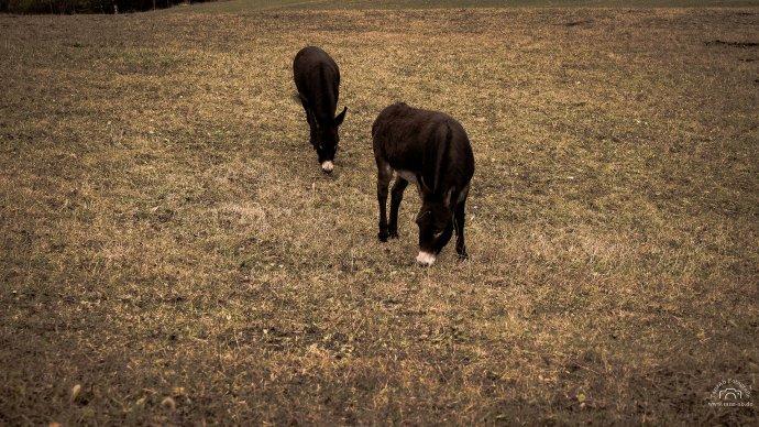 Esel auf der Weide in Fendels